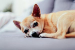 L'incontinence urinaire chez le chien