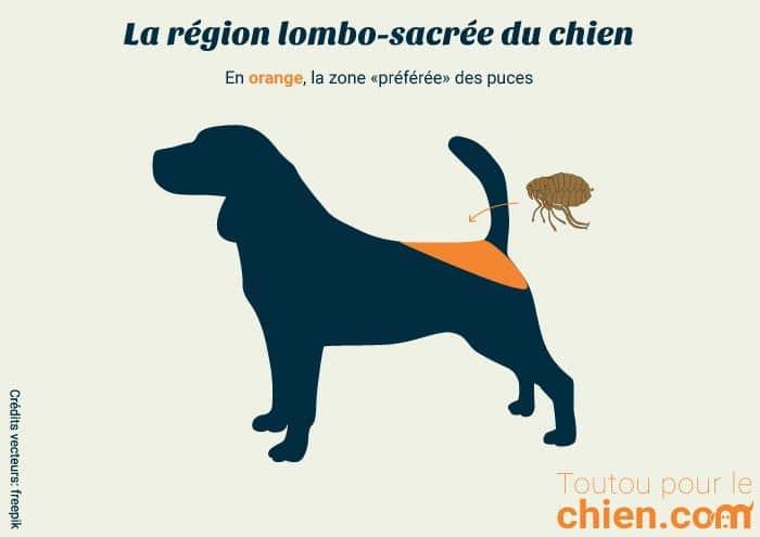 Région lombo sacrée région de prédilection des puces sur le chien