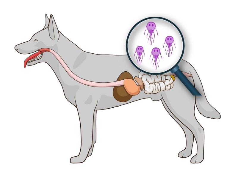 La giardiose chez le chien