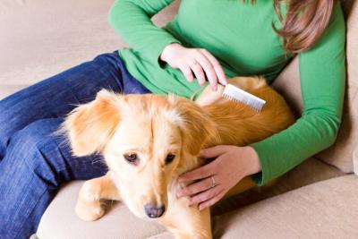 perte de poils chez le chien labrador