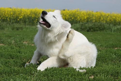 la gale chez le chien traitement
