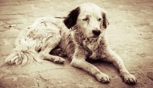 toxoplasmose chez le chien