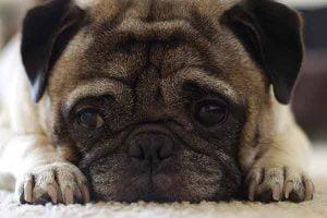 les causes de l'obésité chez le chien