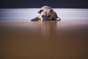 perte d'appétit chez le chien