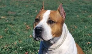 Race-American-Staffordshire-Terrier-300x