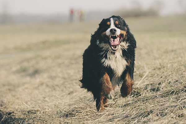 dresser un chien adulte au rappel