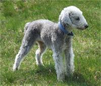 Race-bedlington-terrier.jpg