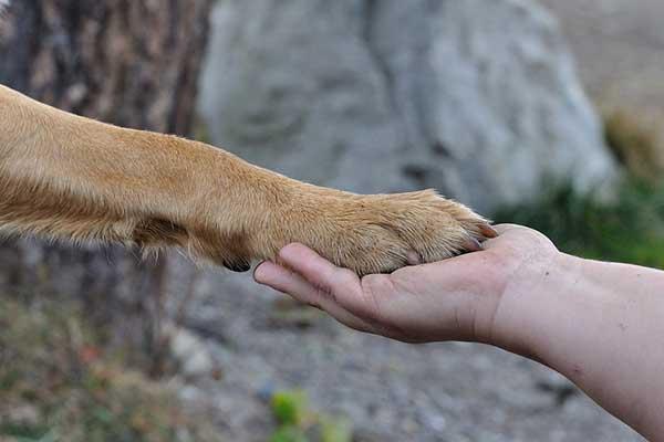 apprendre à son chien à donner la patte
