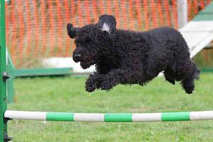 le jumping un sport canin