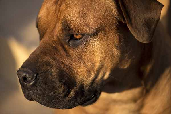 Abcès du chien : symptômes et soins - Toutoupourlechien.com