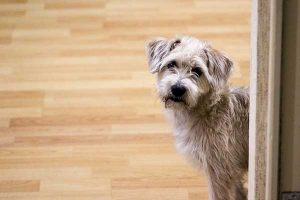 réglementation pour l'achat d'un chien
