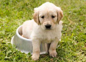 Passer de la nourriture pour chiot à la nourriture pour chien adulte