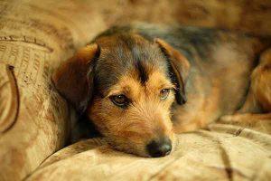 mycose cutanée chez le chien