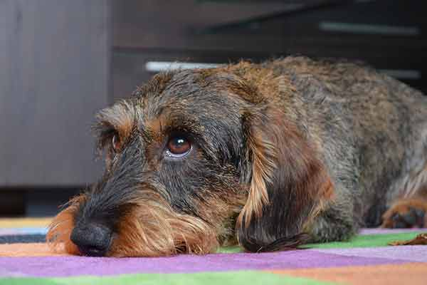 dermatite atopique chez le chien