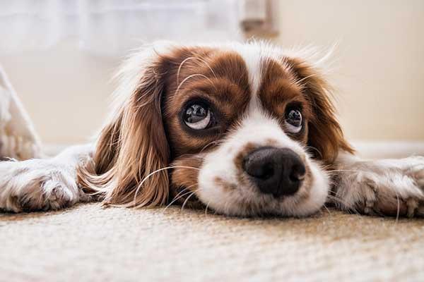 mon chien urine dans la maison