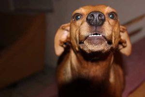 calmer l'agressivité du chien
