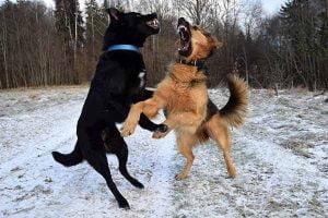 conflit entre chiens