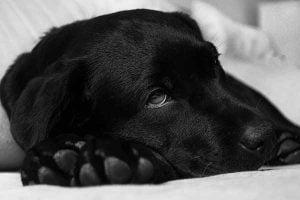 insuffisance pancreatique exocrine du chien