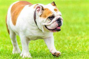 syndrome de proliferation bacterienne de l'intestin grele du chien