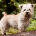 Terrier Irlandais Glen of Imaal