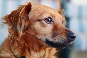 mon chien a les yeux rouges