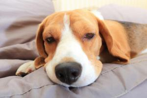 pneumonie-chien