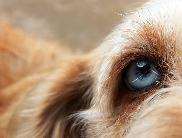 Glaucome chez le chien : symptômes, causes et traitements