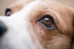 Cataracte Du Chien Causes Symptômes Et Traitements