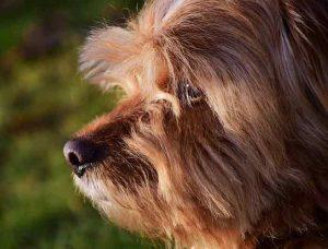 syndrome vestibulaire du chien