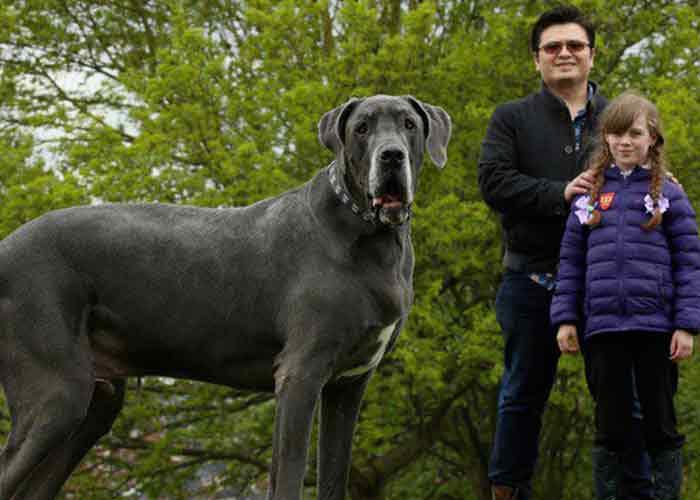 Un dogue allemand géant
