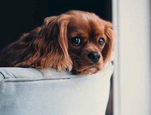 interdire le canapé à son chien