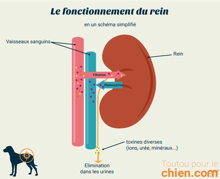Schéma simplifié de fonctionnement du rein