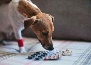 Les anti inflammatoires pour chien