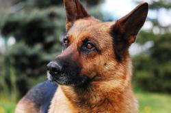 berger-allemand-race-de-chien.jpg