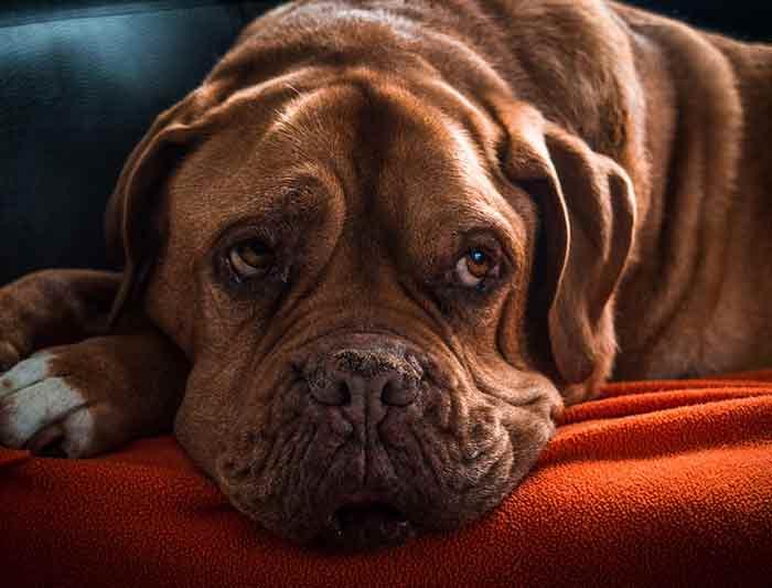 Age Reel Chien déterminer l'âge humain de votre chien