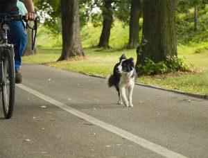 chien qui court après les vélos