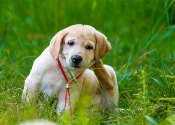 gale auriculaire chien traitement naturel