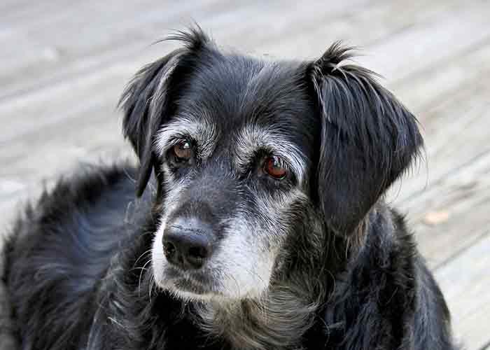 Le lipome un tumeur qui se développe surtout chez les vieux chiens