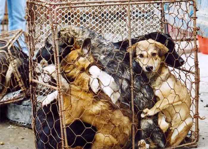 des chiens entassés dans une cage au festival de Yulin