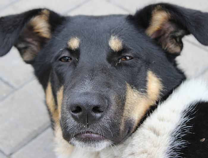 limites d'âge de l'assurance chien