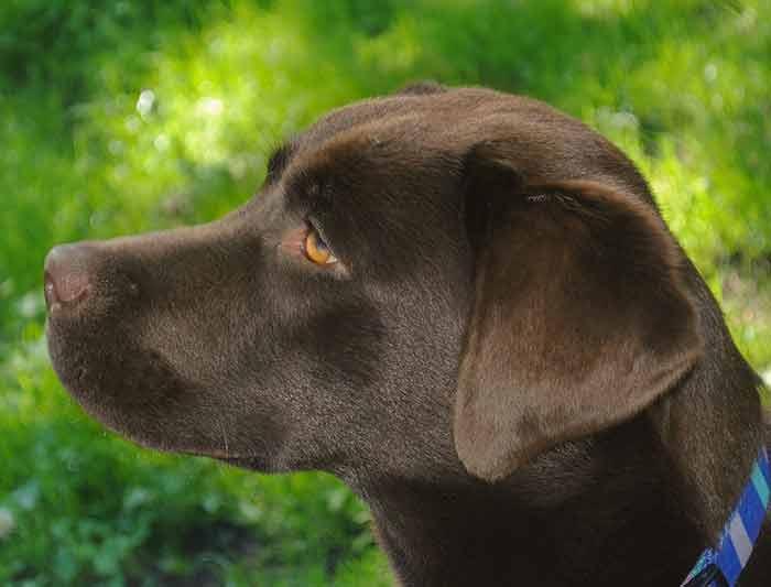 Mon chien urine du sang : les causes