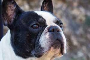 assurance chien bouledogue français