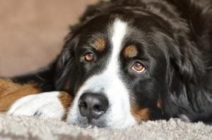assurance chien bouvier bernois
