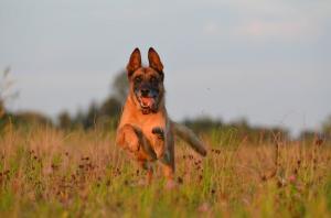assurance chien malinois
