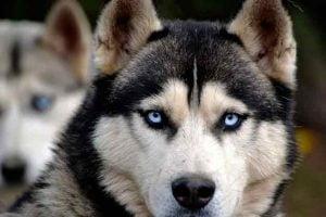 Les huskies victimes de Game of Thrones
