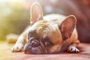 Un chienne atteinte de pyomètre est abattue...