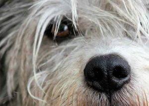 Les yeux d'un chien peuvent couler pour diverses raisons