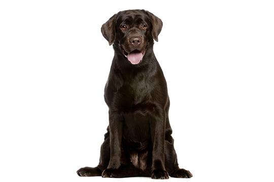 Labrador Education Caractere Sante Prix Budget Toutoupourlechien Com