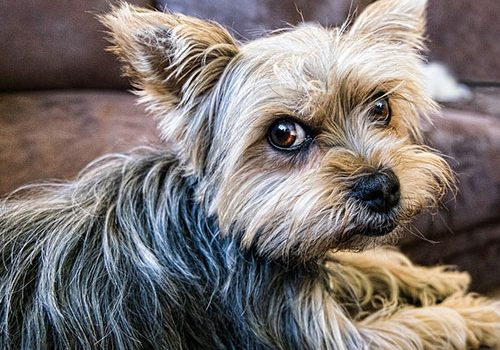 Yorkshire Terrier Education Caractere Sante Prix Budget