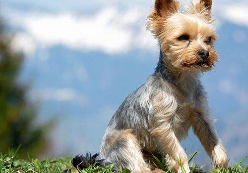 Yorkshire Terrier Education Caractere Sante Prix Budget